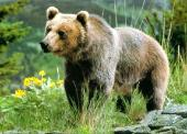 Wild Life - Bears / Bruins